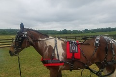 Selling: Show Breast Harness For Draft Horse